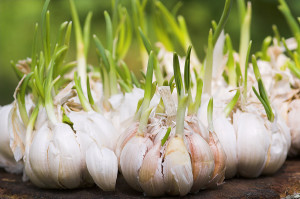 Sprouted Garlic